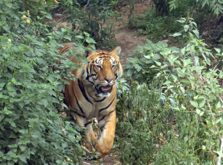 The elusive bengal tiger in Bardia National Park